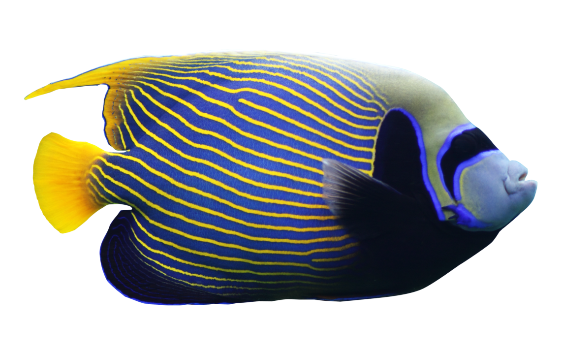 angelfish01