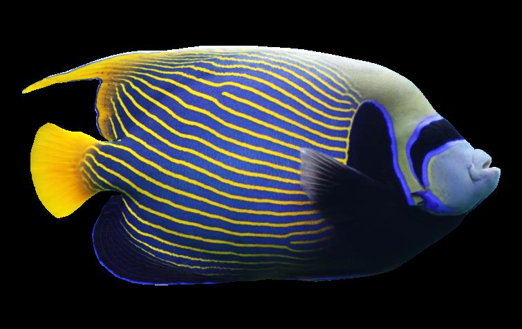 angelfish01